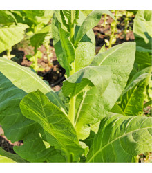 More about Tabák Madole - rostlina Nicotiana tabacum - semena tabáku - 20 ks