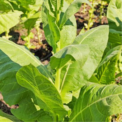 Tabák Madole - rostlina Nicotiana tabacum - semena tabáku - 20 ks