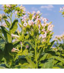 More about Tabák Madole SPECIÁL - rostlina Nicotiana tabacum - semena tabáku - 20 ks