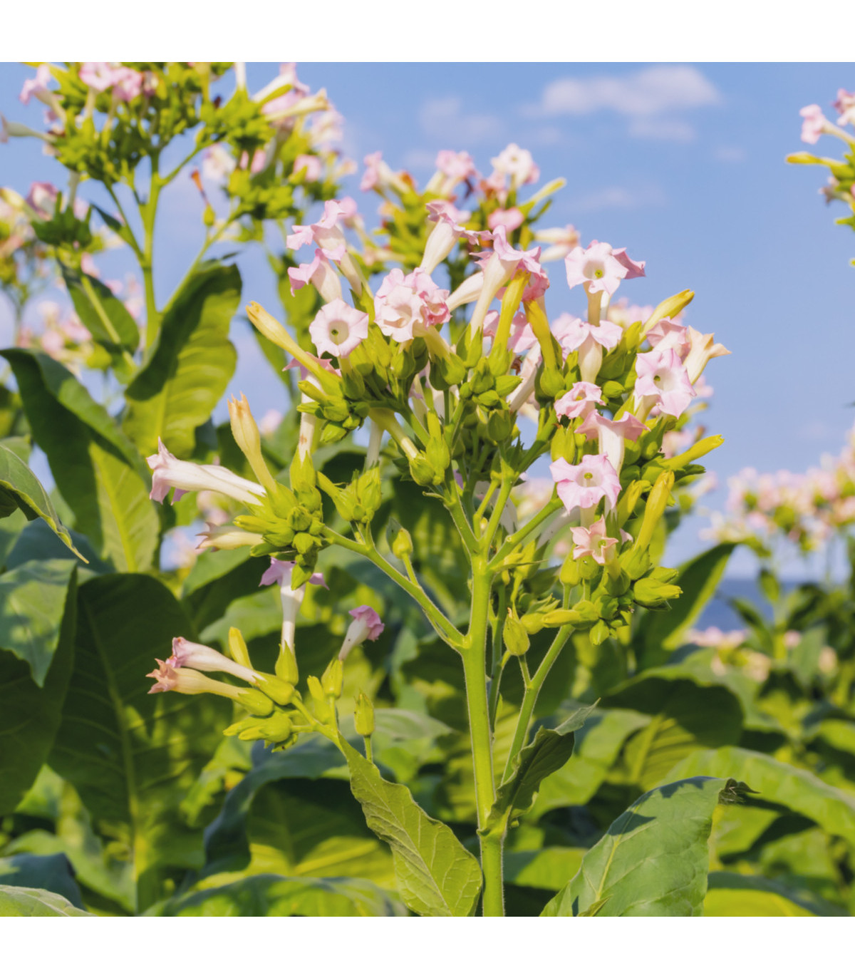 Tabák Madole SPECIÁL - rostlina Nicotiana tabacum - semena tabáku - 20 ks
