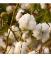 Bavlník bylinný - Gossypium herbaceum - prodej semen - 6 ks