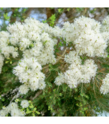 Čajovníkový strom- Kajeput- Melaleuca acuminata- semena Kajeputu- 50 ks