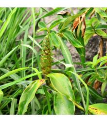 Citronová tráva pravá - Voňatka winterová - Cymbopogon winterianus - semena - 20 ks