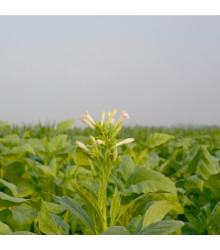 More about Tabák Green wood - Nicotiana tabacum - semena tabáku - 25 ks