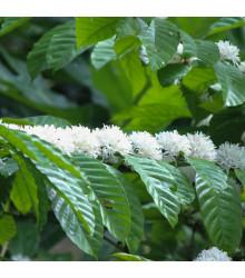 Kávovník robusta - Coffea canephora - semena kávovníku - 5 ks