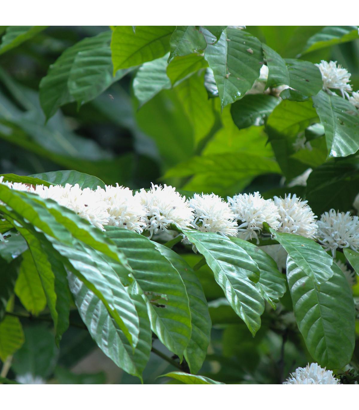 Kávovník robusta - Coffea canephora - prodej semen kávovníku - 5 ks