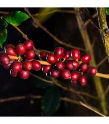 More about Kávovník hawajský - Konna - Coffea konna - semena kávovníku - 5 ks
