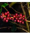 Kávovník hawajský - Konna - Coffea konna - prodej semen - 5 ks