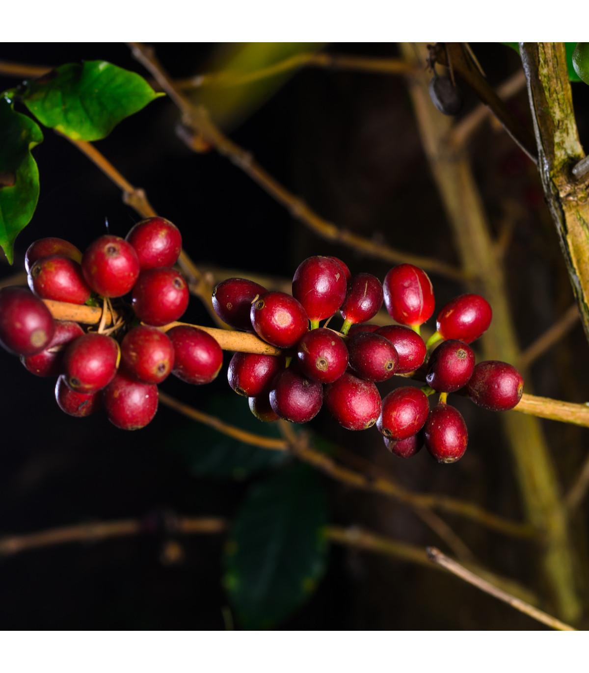 Kávovník hawajský - Konna - Coffea konna - semena kávovníku - 5 ks