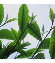 Čajovník čínský - Camelia sinensis - osivo čajovníku - 5 ks