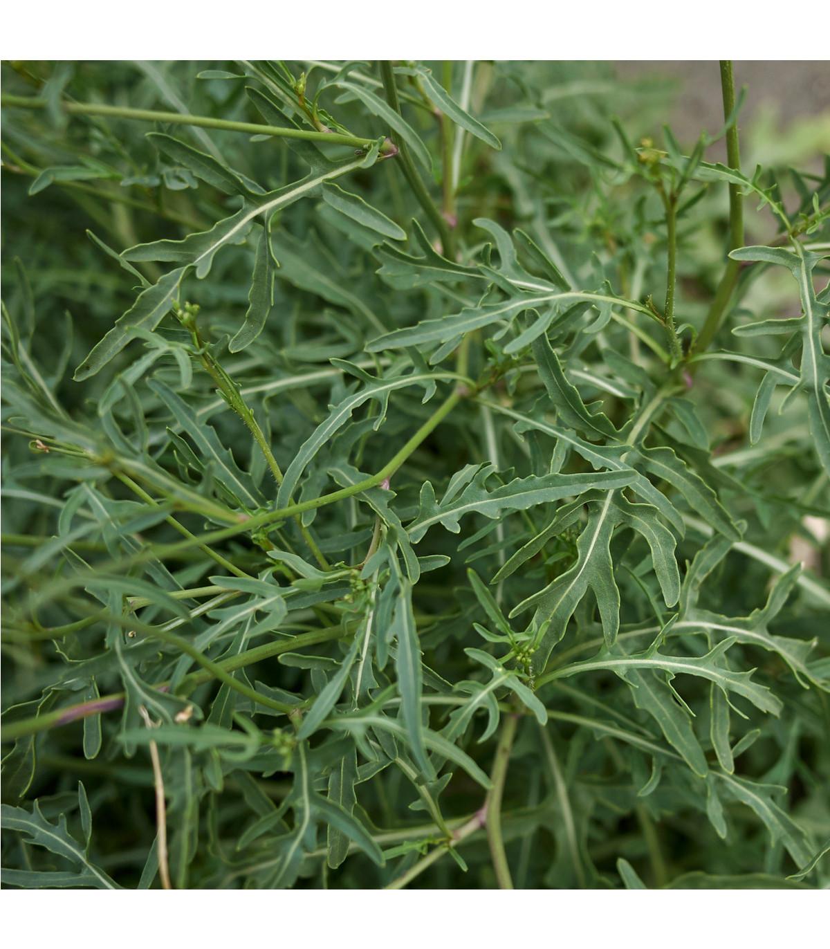 BIO rukola Roma - bio semena rukoly - 50 ks