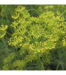 Kopr vonný - BIO osivo - Anethum graveolens - prodej bio osiva - 300 ks