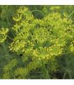 Kopr vonný Diana - BIO osivo - Anethum graveolens - prodej bio osiva - 2 gr