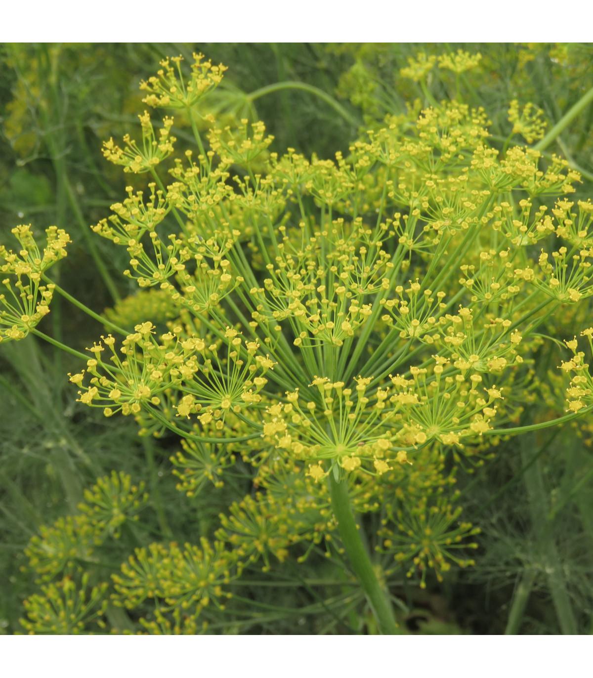BIO Kopr vonný - Anethum graveolens - bio osivo kopru - 300 ks