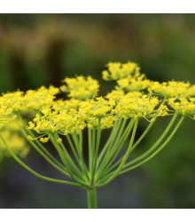 BIO fenykl kořeninový - Foeniculum ssp. - bio semena fenyklu - 0,3 g