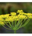 BIO fenykl kořeninový - Foeniculum ssp. - prodej bio semen - 0,3 gr
