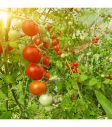 Bio rajče tyčkové Hamlet F1 - Lycopersicon Esculentum - bio semena rajčat - 5 ks
