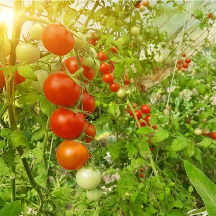 BIO rajče Hamlet F1 - Lycopersicon esculentum - bio osivo rajčat - 5 ks