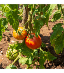 BIO rajče Diplom F1 - Lycopersicon esculentum - bio osivo rajčat - 8 ks