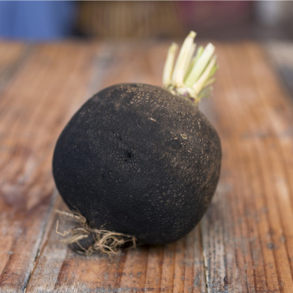 BIO Ředkvička černá kulatá - Raphanus sativus - bio osivo ředkvičky - 45 ks