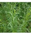 BIO pelyněk kozalec - Artemisia dracunculus - prodej bio osiva pelyňku - 0, 1 gr