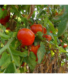 More about BIO rajče Taste F1 - Lycopersicon Esculentum - bio semena rajčat - 10 ks