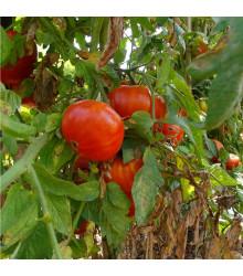 BIO tyčkové rajče Taste F1 - Lycopersicon Esculentum - bio semena rajčat - 10 ks