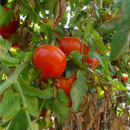 BIO rajče Taste F1 - Lycopersicon Esculentum - bio osivo rajčat - 10 ks