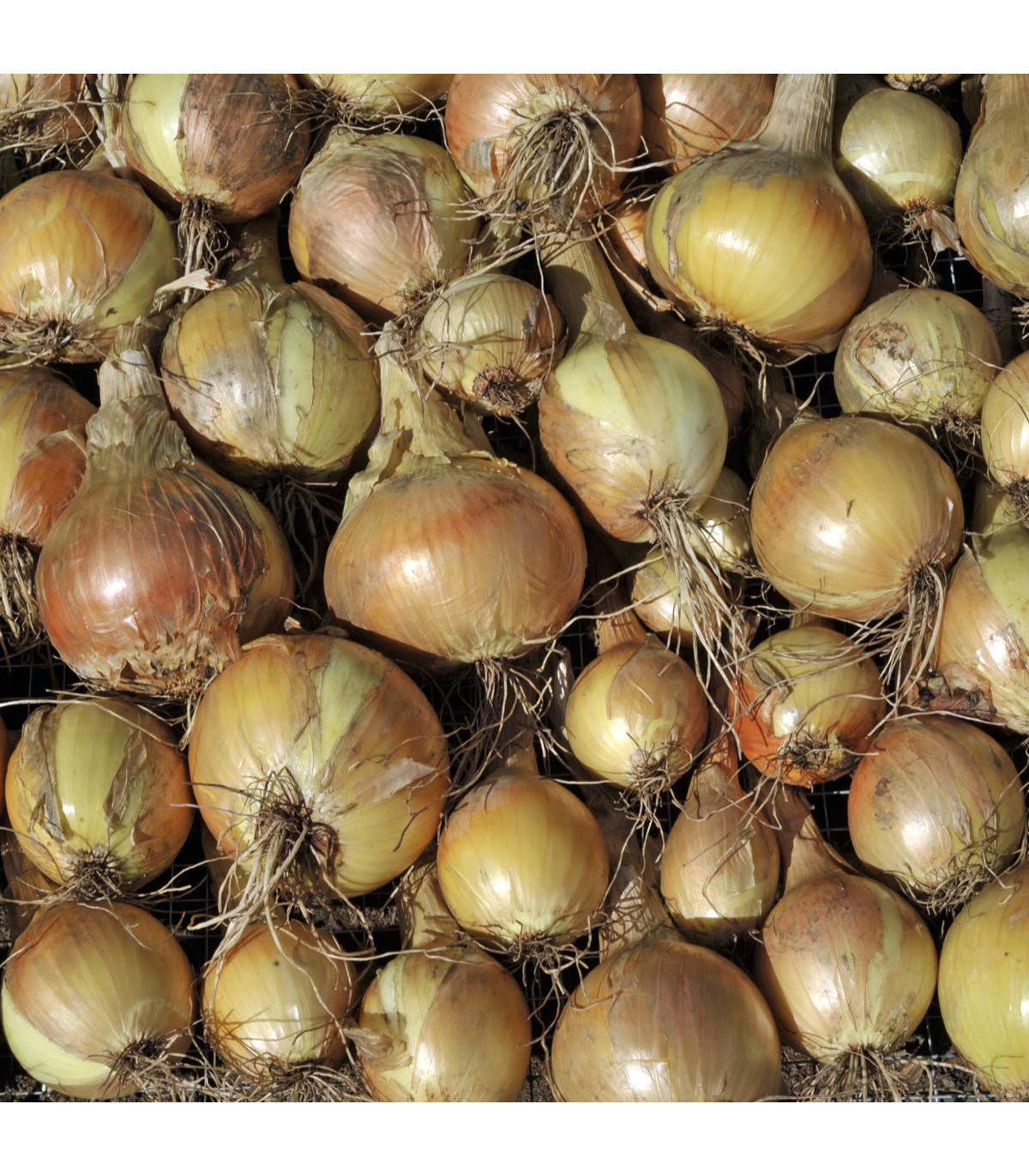 BIO Cibule jarní žlutá Sturon - Allium cepa - bio semena cibule - 500 ks
