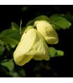 Bauhinie plstnatá - rostlina Bauhinia tomentosa - prodej semen - 4 ks
