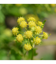 BIO Libeček - Levisticum officinale - bio semena libečku - 0,5 g