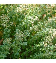 BIO Saturejka horská - Satureja montana - bio semena saturejky - 0,3 g