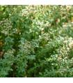 BIO Saturejka horská - bio semena saturejky - 0,3 gr