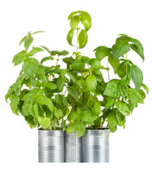 BIO Bazalka zelená - Ocimum Basilicum - bio semena bazalky - 200 ks