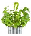 Bazalka zelená- BIO- semena BIO bazalky- 4 g
