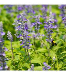 BIO Šalvěj lékařská - Salvia officinalis - bio semena šalvěje - 30 ks