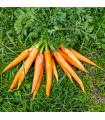 BIO mrkev Rothild velmi raná - prodej bio semen mrkve - 0,5 gr