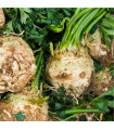 Celer bulvový Princ - bio semena celeru bulvového - 20 ks