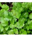 BIO osiva koriandr - rostlina Coriandrum sativum - prodej bio osiv - 100 ks