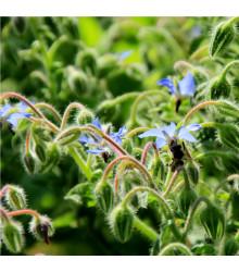BIO Brutnák lékařský - Borago officinalis - bio semena brutnáku - 1,5 g