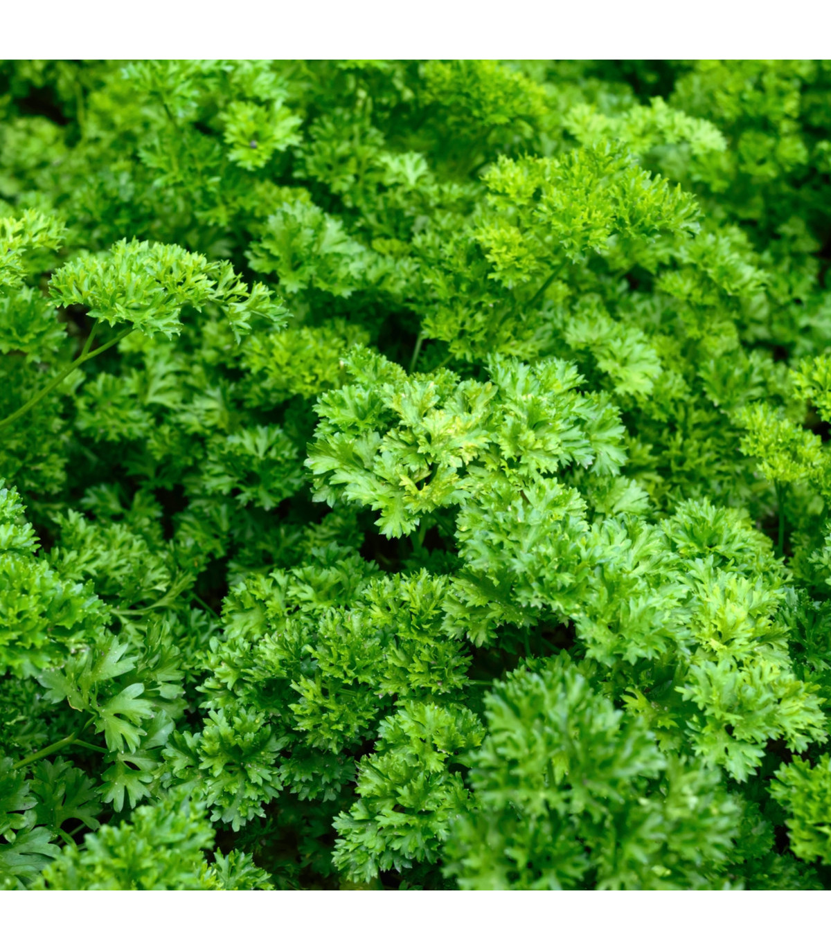 BIO Petržel Zelená Perla - Petroselinum crispum - bio osivo petržele - 1 g