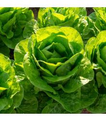 Salát hlávkový máslový Mafalda - bio osivo salátu - Lactusa sativa - 0,1 gr