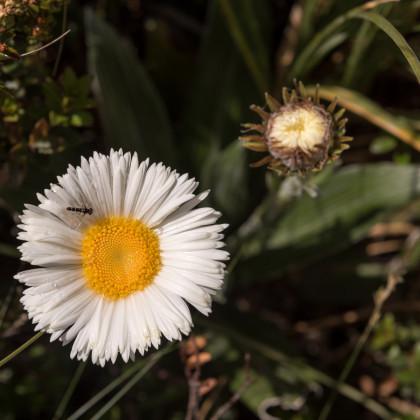 Celmisie - rostlina Celmisia semicordata - prodej semen - 6 ks