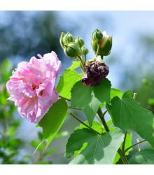 Ibišek okrasný - Hibiscus mutabilis - prodej semen ibišku - 5 ks