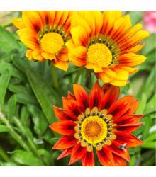 Gazánie zářivá směs barev - Gazania splendes - osivo gazánie - 50 ks