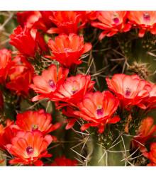 Echinocereus triglochidiatus - osivo kaktusů - 8 ks