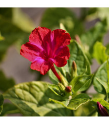 Nocenka jalapovitá - červená - Mirabilis jalapa - prodej semen - 1 gr