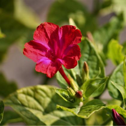 Nocenka jalapovitá červená - Mirabilis jalapa - osivo nocenky - 1 g