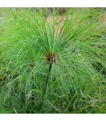 More about Papyrus - Cyperus papyrus - prodej semen papyrusu - 8 ks
