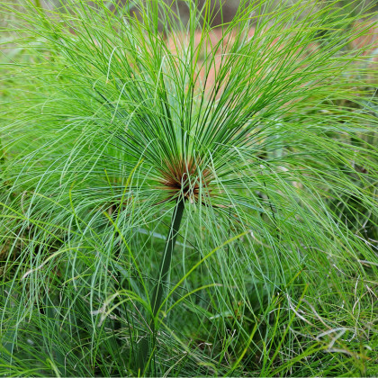 Papyrus - Cyperus papyrus - prodej semen papyrusu - 8 ks
